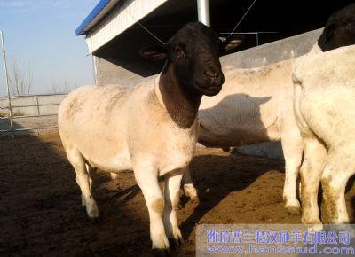 點(dian)擊查看詳細信息<br>標題︰黑頭杜泊種(zhong)羊(yang)展示 閱讀次數︰3238