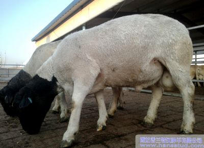 點(dian)擊查看詳細信息<br>標題︰黑頭杜泊種(zhong)羊(yang)展示 閱讀次數︰2304