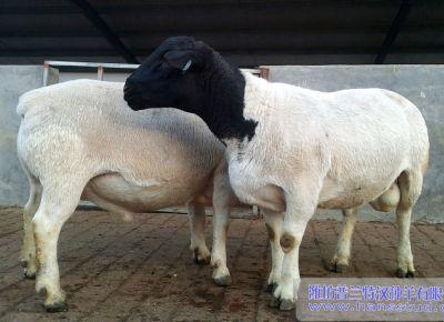 點(dian)擊查看詳細信息<br>標題︰黑頭杜泊種(zhong)羊(yang)展示 閱讀次數︰2412