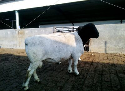 點(dian)擊查看詳細信息<br>標題︰黑頭杜泊種(zhong)羊(yang)展示 閱讀次數︰2171